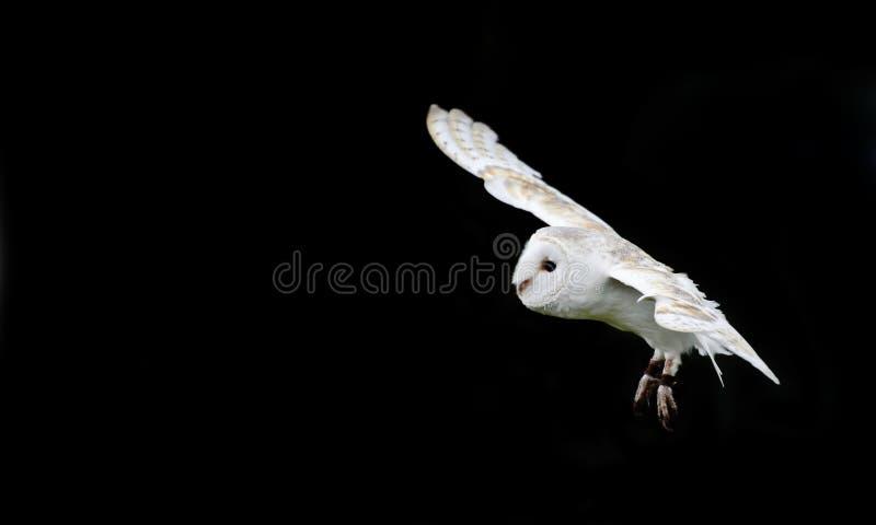 Oiseau de hibou de grange de proie dans l'affichage de fauconnerie photos stock