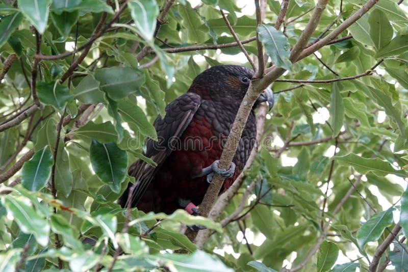 Oiseau de Kaka dans l'arbre sur l'île du nord, Nouvelle-Zélande image stock