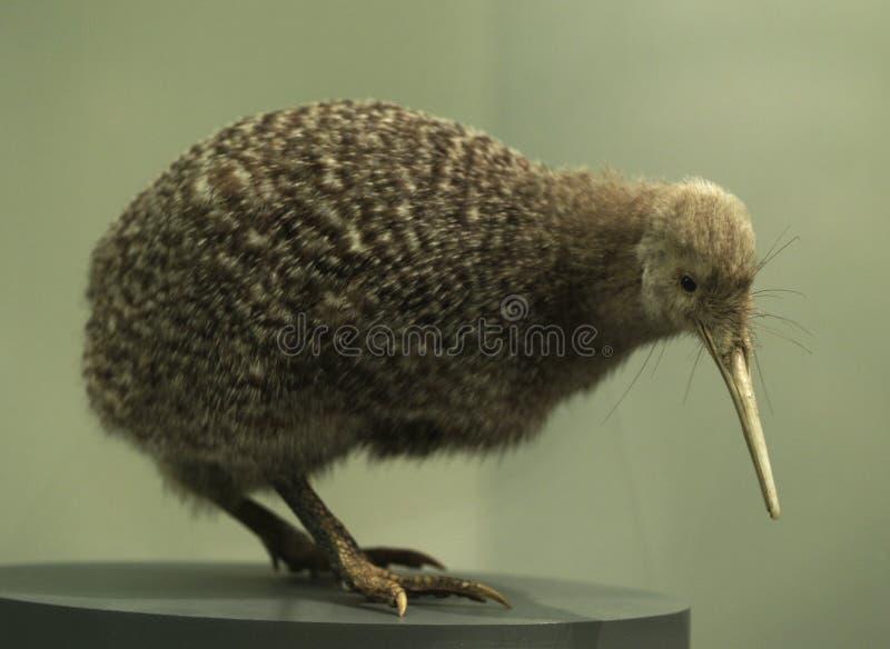 Oiseau de kiwi image libre de droits