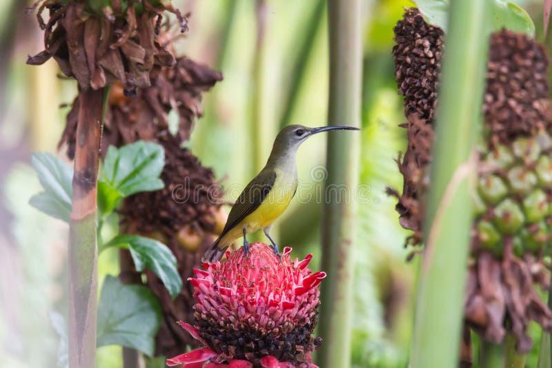 Oiseau de l'Asie photos libres de droits