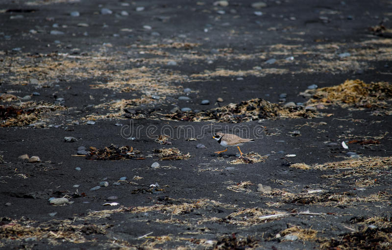 Oiseau de l'Islande sur la plage noire de sable images libres de droits