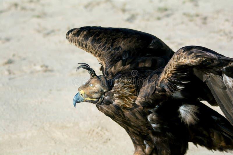 Oiseau de la proie, portrait des ailes outspreading d'or d'Eagle avec le capot de fauconnerie photographie stock libre de droits
