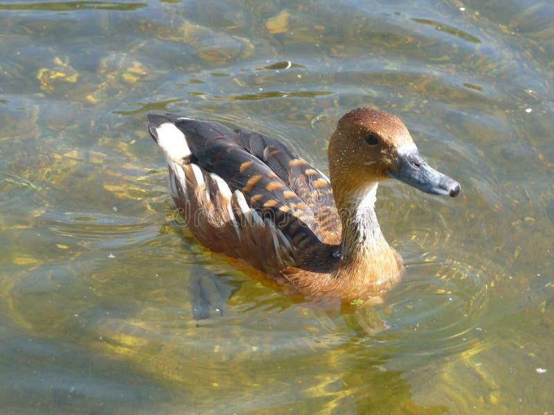 Oiseau De Lac Images stock