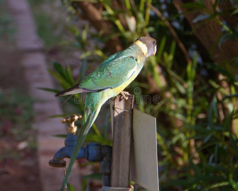 Oiseau de Lincoln Ringneck d'Australien photos stock