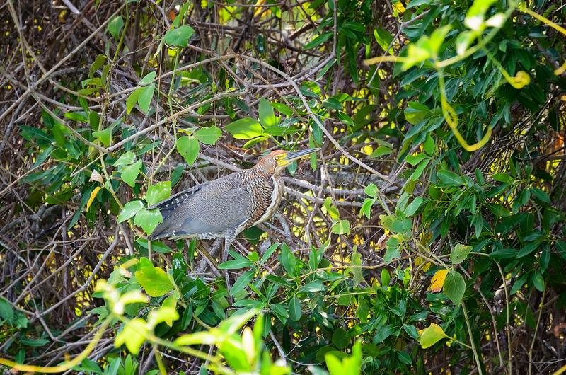 Oiseau de lineatum de Tigrisoma, également connu sous le nom de Soco-boi au Brésil images stock