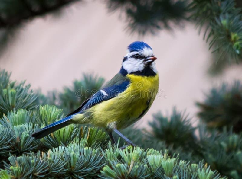 Oiseau de mésange bleue dans l'arbre photographie stock