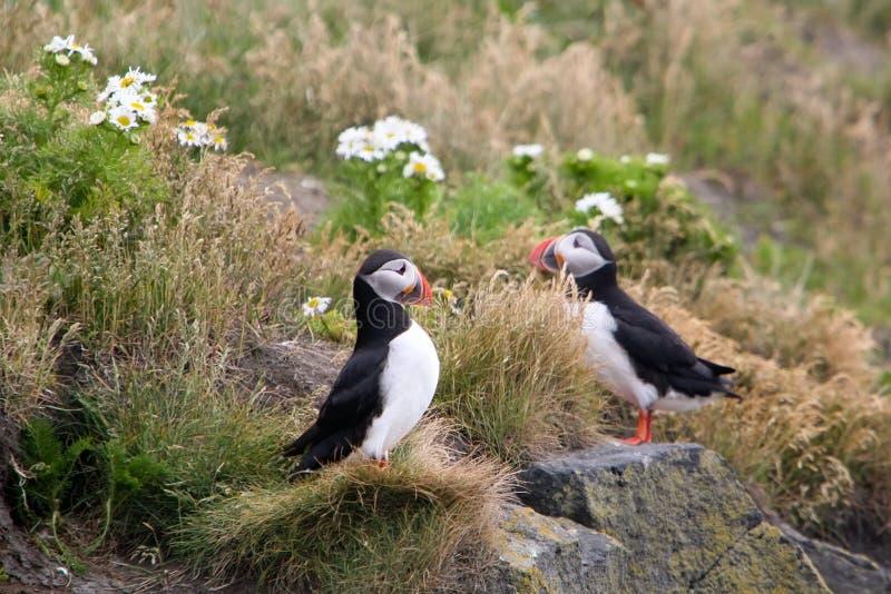 Oiseau de macareux de l'Islande photographie stock