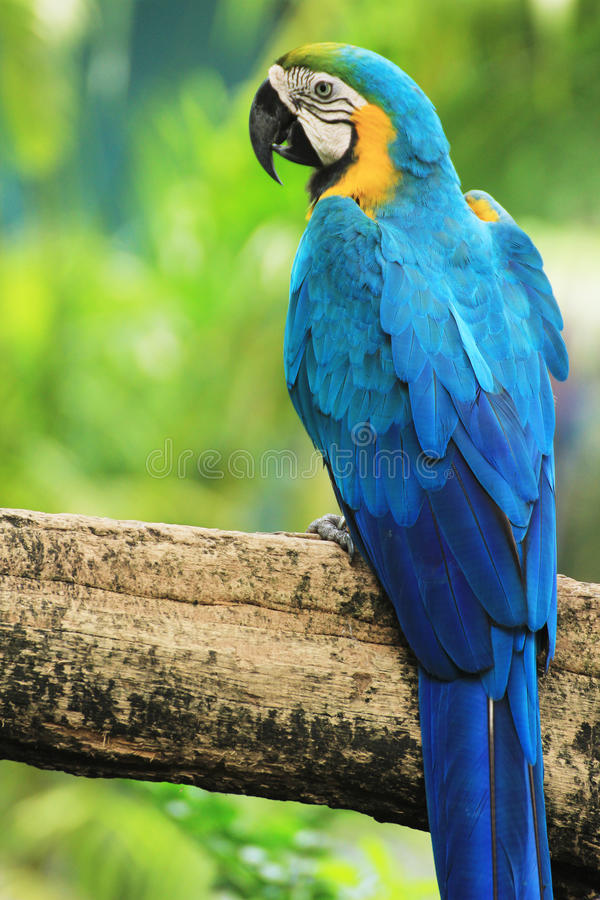 Oiseau de Macaw [ararauna d'Ara] photographie stock libre de droits