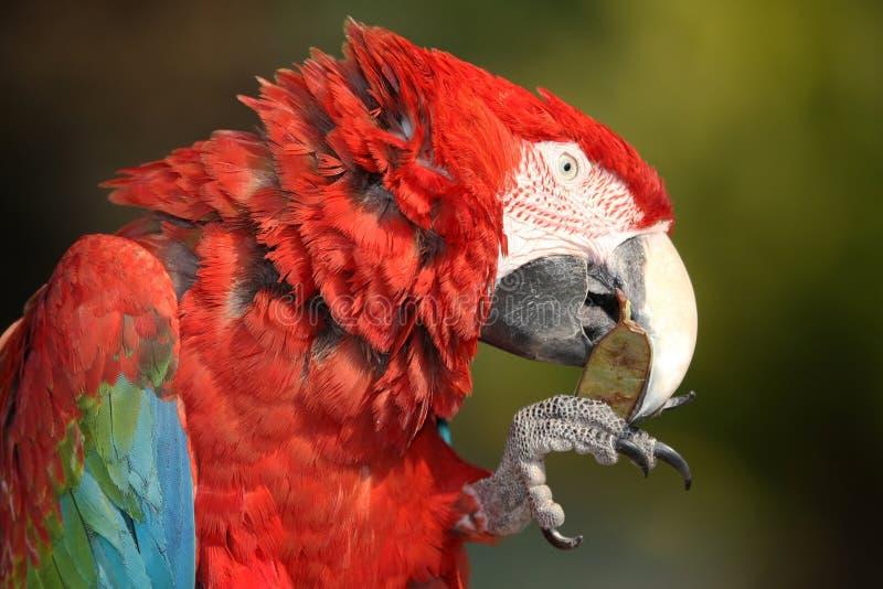 Oiseau de Macaw d'écarlate photos libres de droits
