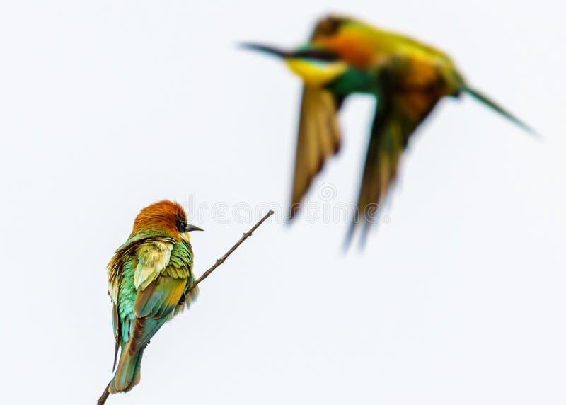 Oiseau de mangeur d'abeille images libres de droits