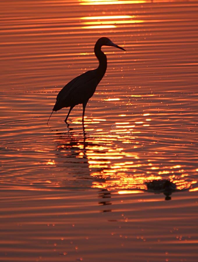 Oiseau de marche dans l'eau au coucher du soleil photo stock