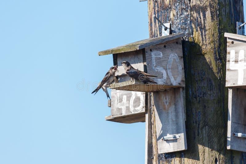 Oiseau de Martin pourpr?e photos libres de droits