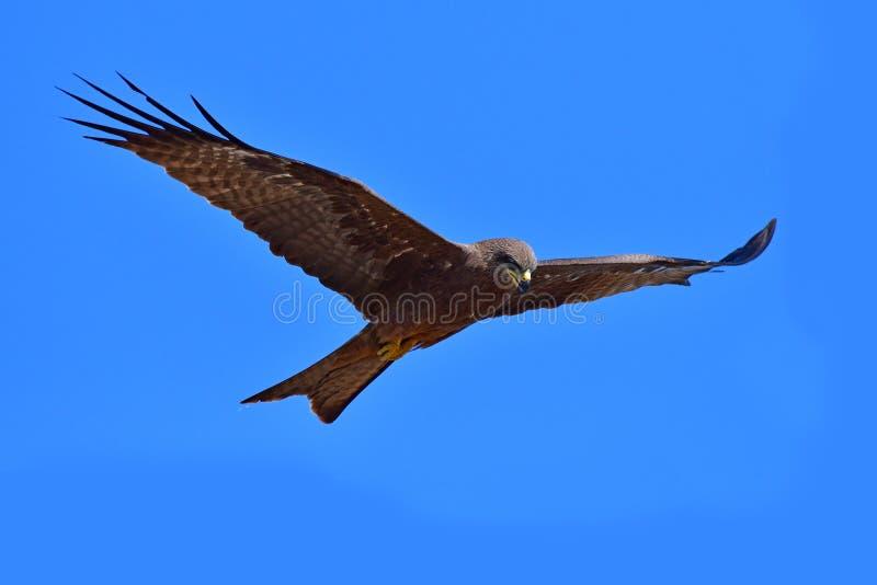 Oiseau de milan noir image stock