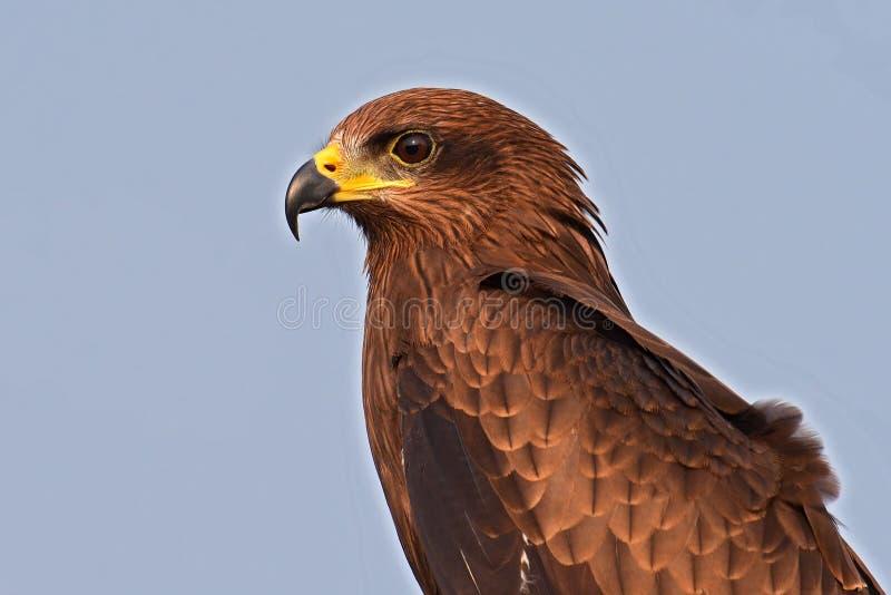 Oiseau de milan noir images libres de droits