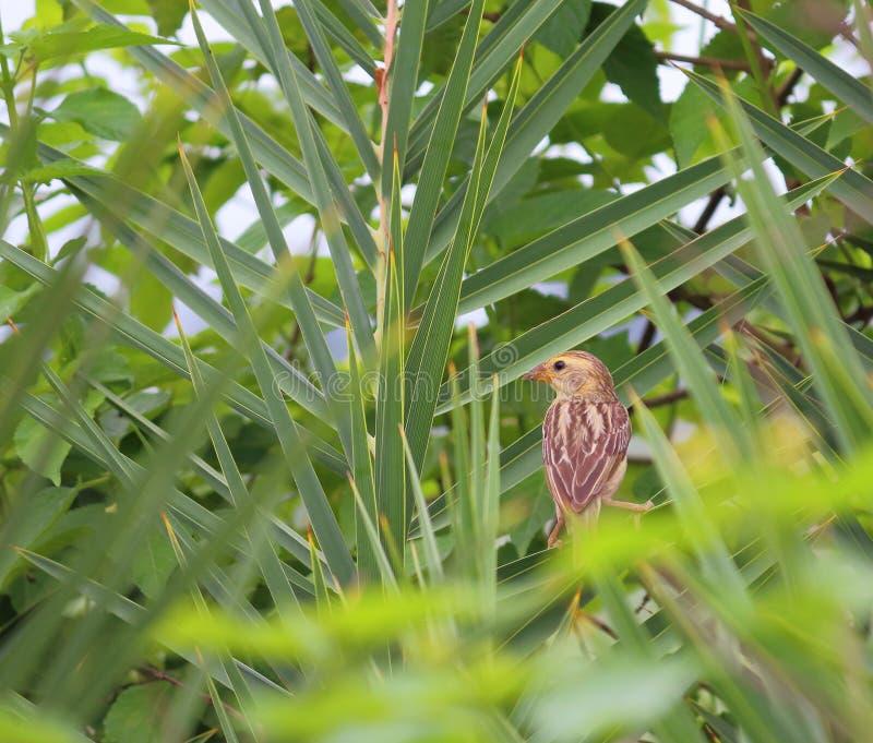 Oiseau de moineau de champ sur la branche du palmier images stock