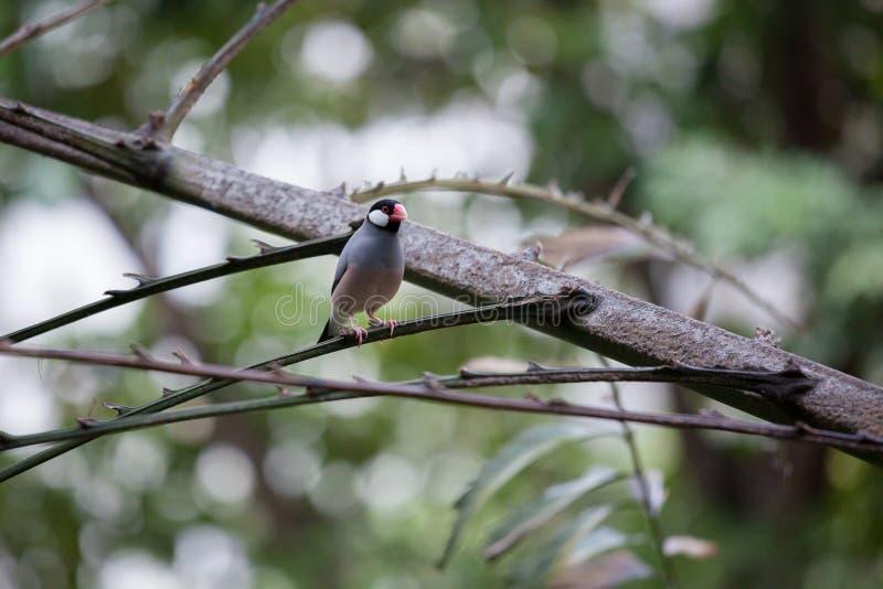 Oiseau de moineau de Java dans la volière photo libre de droits