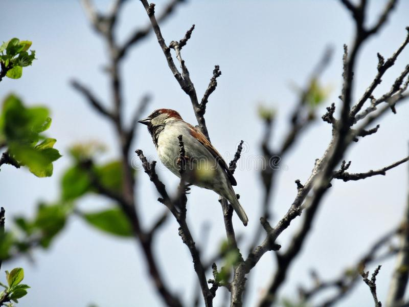 Oiseau de moineau sur les branches images libres de droits