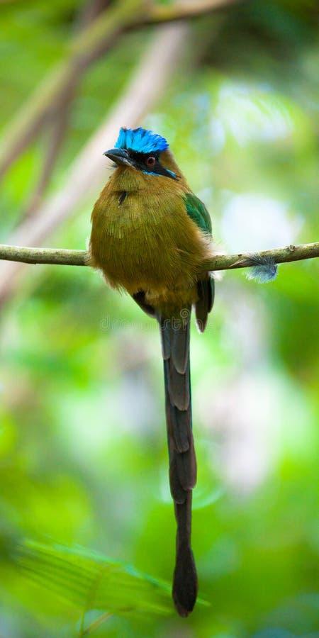Oiseau de Motmot images libres de droits