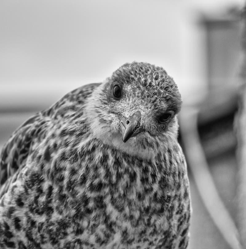 Oiseau de mouette, noir et blanc images libres de droits