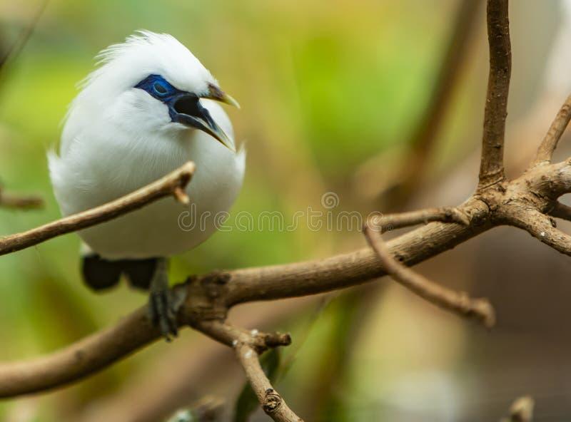 Oiseau de myna de Bali images stock