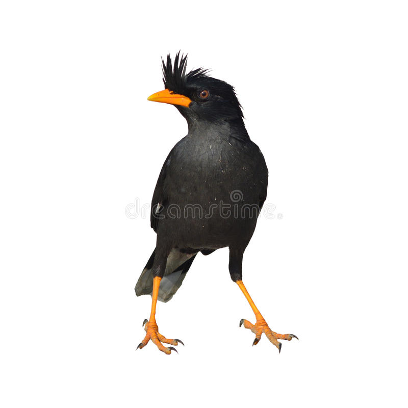oiseau de Myna Blanc-exhalé photos stock