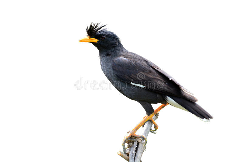 oiseau de Myna Blanc-exhalé images stock
