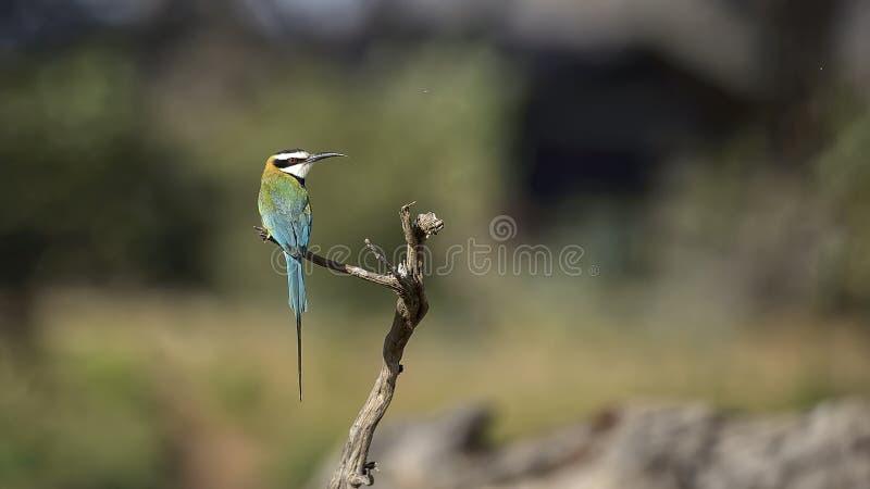 Oiseau de mystère : abeille-mangeur blanc-throated, albicollis de Merops images stock