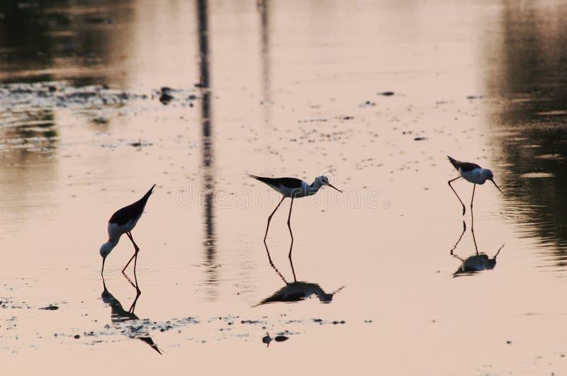 Oiseau de pêche dans la ferme de crevette images libres de droits