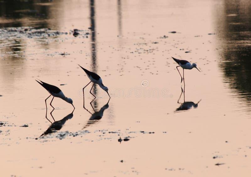 Oiseau de pêche dans la ferme de crevette images stock