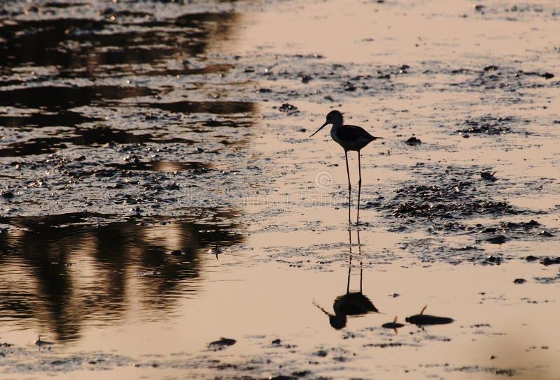 Oiseau de pêche dans la ferme de crevette photos libres de droits
