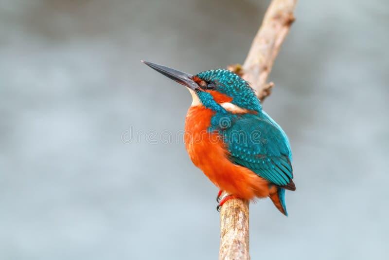 Oiseau de pêcheur de roi sur une branche images libres de droits
