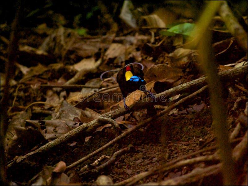 Oiseau-de-paradis de Wilson en Papouasie occidentale photo stock