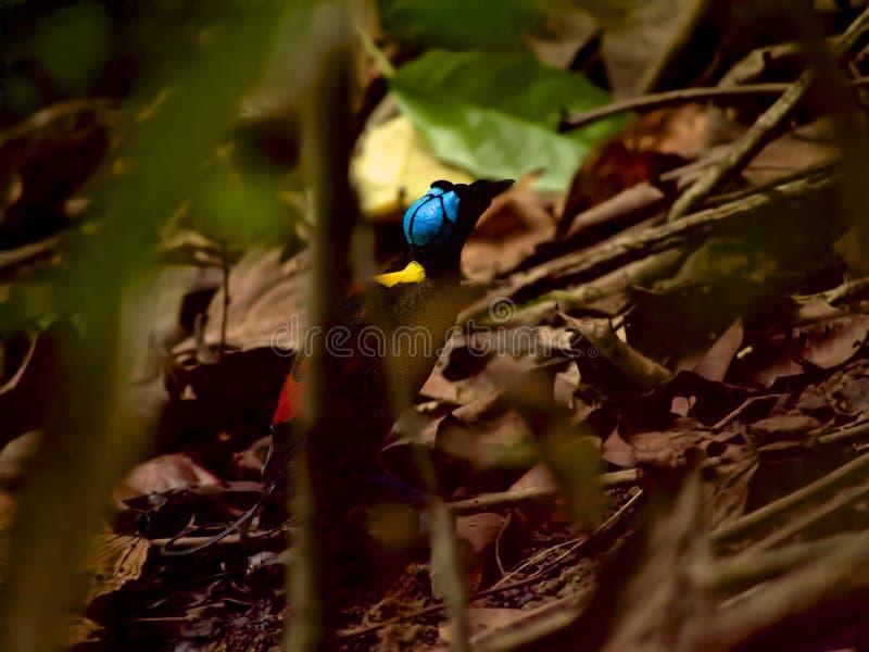 Oiseau-de-paradis de Wilson en Papouasie occidentale images libres de droits