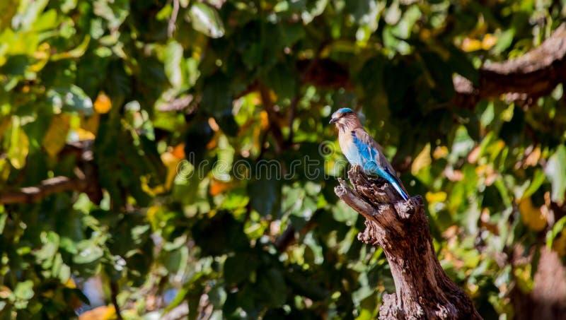 Oiseau de parc national de Kanha photo stock