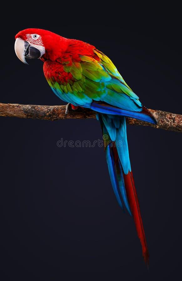 Oiseau de perroquet d'ara sur la branche d'arbre d'isolement sur le noir images stock