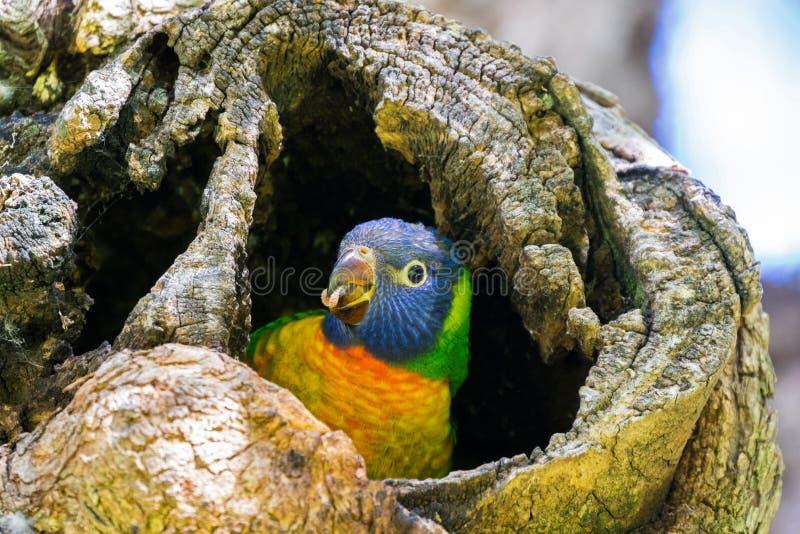 Oiseau de perroquet de Lorikeet d'arc-en-ciel jeune se reposant en trou d'arbre à Perth, Australie occidentale photographie stock libre de droits