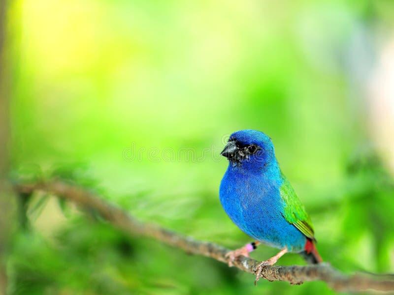 Oiseau de Perroquet-pinson de Tricolored image stock