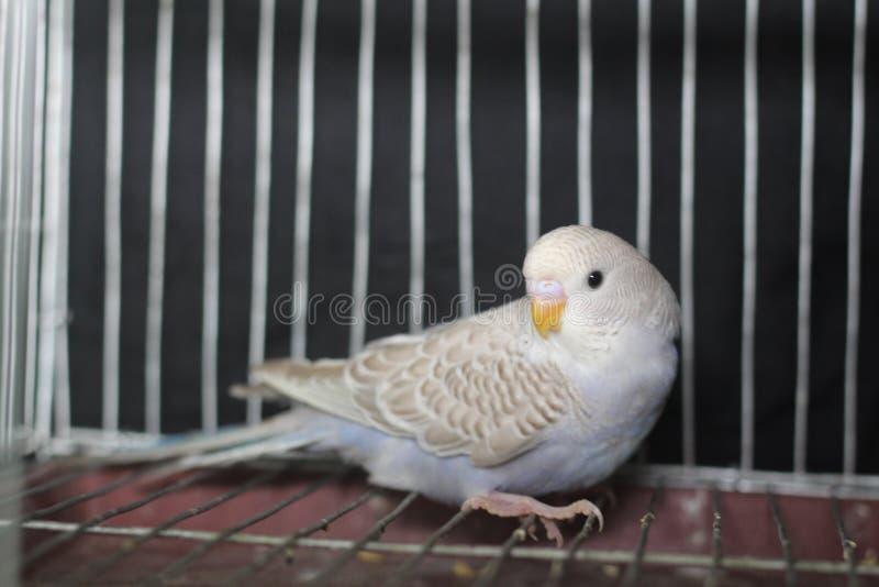 Oiseau de perruche image stock