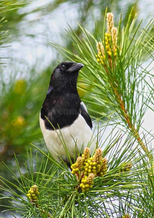 Oiseau de pie image libre de droits