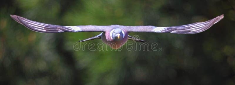 Oiseau de pigeon en vol images libres de droits