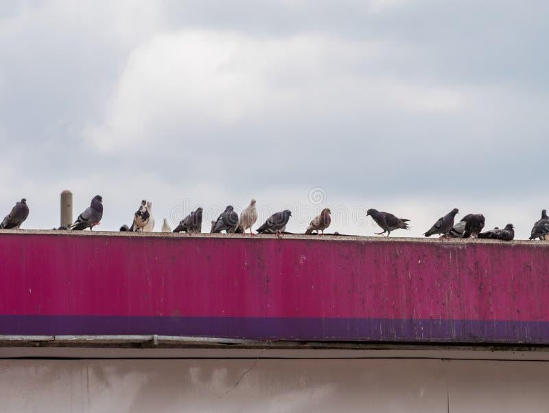Oiseau de pigeon de groupe sur le toit photos stock