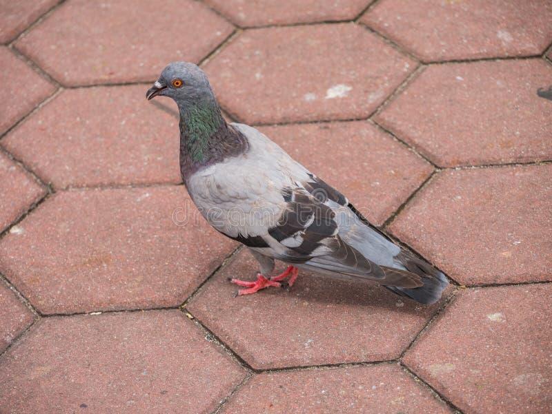 Oiseau de pigeon se tenant sur le pavé rond photographie stock libre de droits