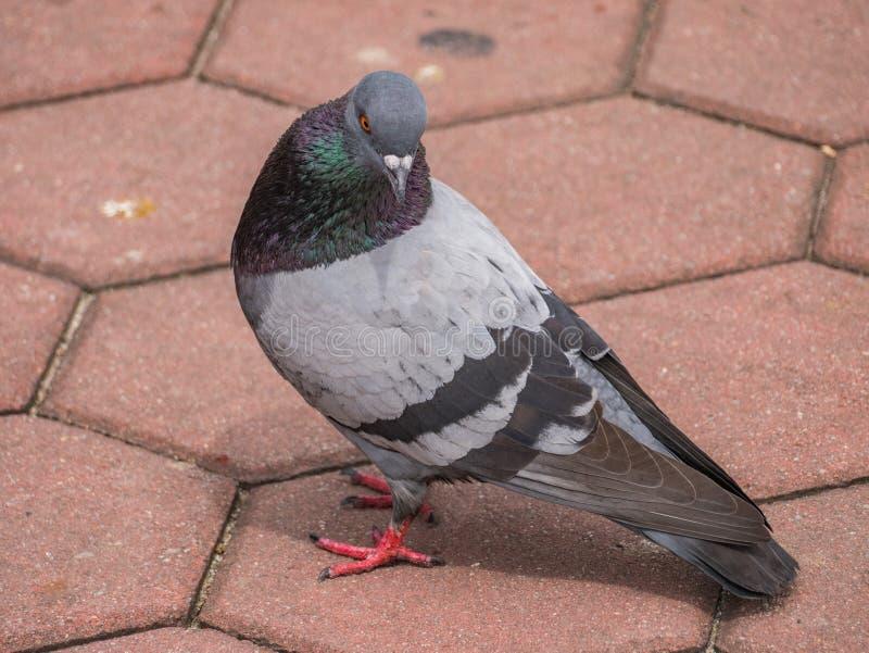 Oiseau de pigeon sur le pavé rond image libre de droits