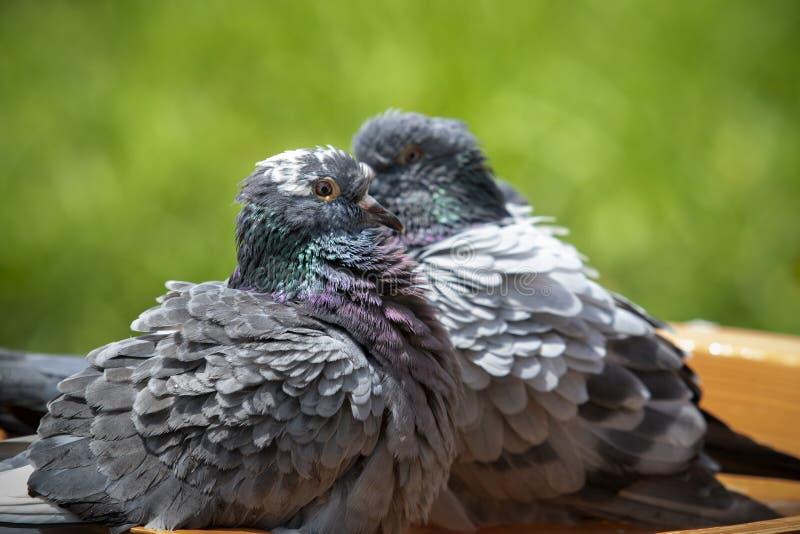 Oiseau de pigeon voyageur se baignant dans le parc vert image stock