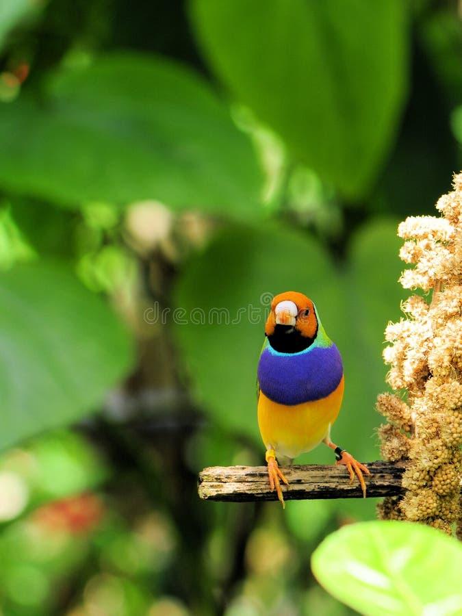 Oiseau de pinson de Madame Gouldian photos libres de droits