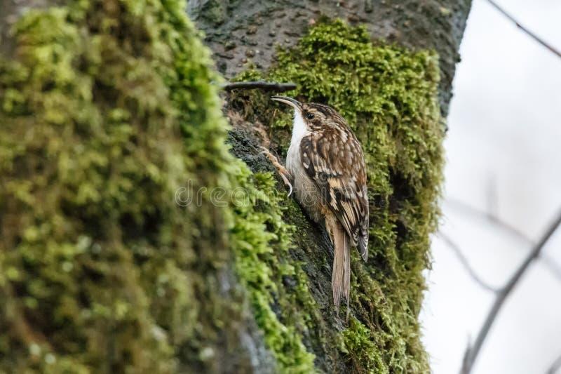 Oiseau de plante grimpante de Brown photographie stock libre de droits