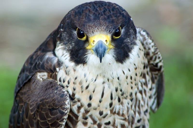 Oiseau de proie images stock