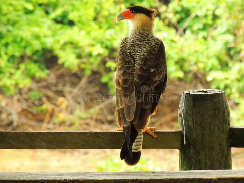 Oiseau de proie - faucon photographie stock libre de droits