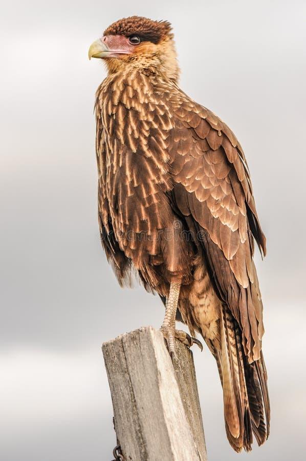 Oiseau de proie se reposant sur la branche en parc national Patagonian, Torres del Paine, Chili Détail de Caracara crêté juvénile photos stock