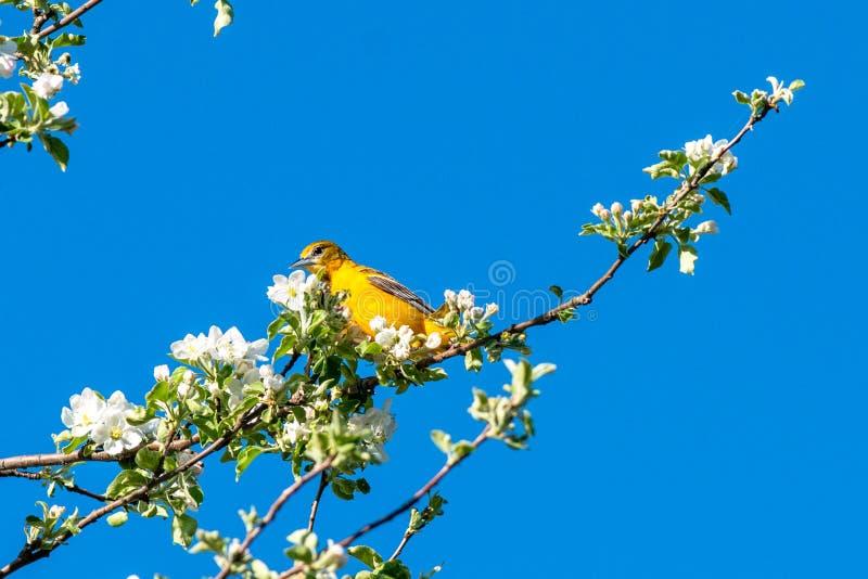 Oiseau de ressort sur une brindille Vue gentille de ressort de plaisir image libre de droits